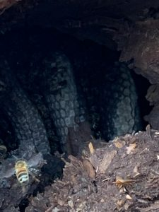 picture of combs in a tree cavity